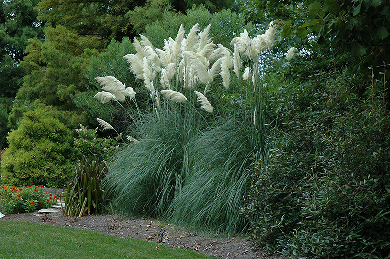 Pampas Grass (Cortaderia Selloana) At Good Earth Garden Market