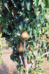 Bosc Pear (Pyrus communis 'Bosc') at Good Earth Garden Market