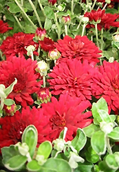 Brandi Chrysanthemum (Chrysanthemum 'Brandi') at Good Earth Garden Market