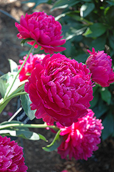 Paul Wild Peony (Paeonia 'Paul Wild') at Good Earth Garden Market