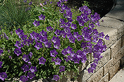 Blue Clips Bellflower (Campanula carpatica 'Blue Clips') at Good Earth Garden Market