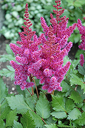 Visions Astilbe (Astilbe chinensis 'Visions') at Good Earth Garden Market