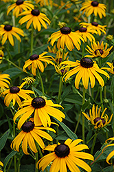 Goldsturm Coneflower (Rudbeckia fulgida 'Goldsturm') at Good Earth Garden Market