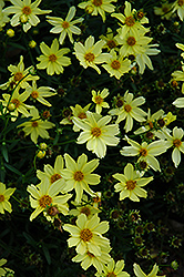 Creme Brulee Tickseed (Coreopsis 'Creme Brulee') at Good Earth Garden Market