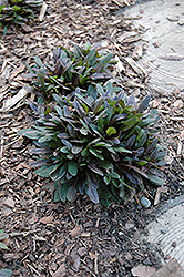 Chocolate Chip Bugleweed (Ajuga reptans 'Chocolate Chip') at Good Earth Garden Market