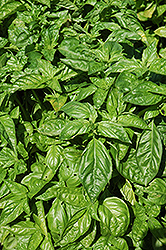 Sweet Basil (Ocimum basilicum) at Good Earth Garden Market