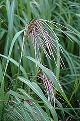 Maiden Grass (Miscanthus sinensis) at Good Earth Garden Market