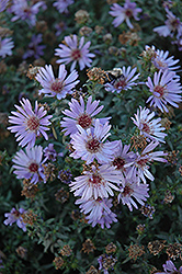 Woods Blue Aster (Aster 'Woods Blue') at Good Earth Garden Market