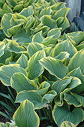 Sagae Hosta (Hosta 'Sagae') at Good Earth Garden Market