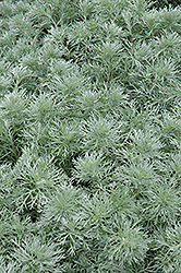 Silver Mound Artemesia (Artemisia schmidtiana 'Silver Mound') at Good Earth Garden Market