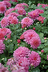 Ursula Chrysanthemum (Chrysanthemum 'Ursula') at Good Earth Garden Market