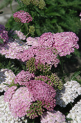 Apple Blossom Yarrow (Achillea millefolium 'Apple Blossom') at Good Earth Garden Market