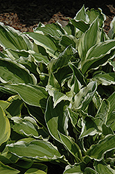 White-Variegated Hosta (Hosta undulata 'Albomarginata') at Good Earth Garden Market
