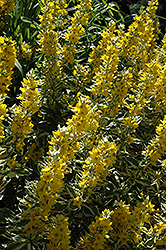 Golden Alexander Loosestrife (Lysimachia punctata 'Golden Alexander') at Good Earth Garden Market