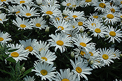 Silver Princess Shasta Daisy (Leucanthemum x superbum 'Silver Princess') at Good Earth Garden Market