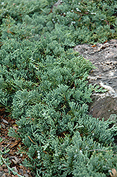 Blue Rug Juniper (Juniperus horizontalis 'Wiltonii') at Good Earth Garden Market