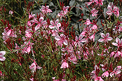 Butterfly Gaura (Gaura lindheimeri) at Good Earth Garden Market