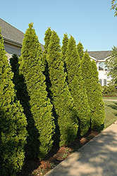 Emerald Green Arborvitae (Thuja occidentalis 'Smaragd') at Good Earth Garden Market