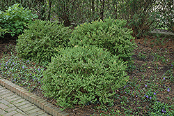 Wintergreen Boxwood (Buxus microphylla 'Wintergreen') at Good Earth Garden Market