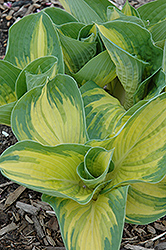 Great Expectations Hosta (Hosta 'Great Expectations') at Good Earth Garden Market