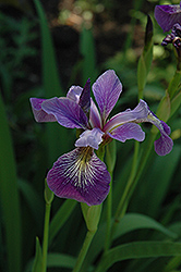 Blue Flag Iris (Iris versicolor) at Good Earth Garden Market