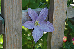 Blue Angel Clematis (Clematis 'Blue Angel') at Good Earth Garden Market