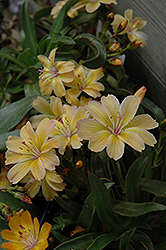 Little Peach Bitteroot (Lewisia 'Little Peach') at Good Earth Garden Market