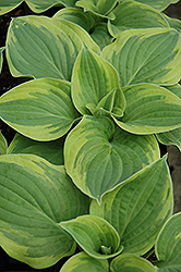 Wide Brim Hosta (Hosta 'Wide Brim') at Good Earth Garden Market