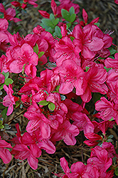 Mother's Day Azalea (Rhododendron 'Mother's Day') at Good Earth Garden Market