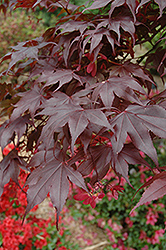 Bloodgood Japanese Maple (Acer palmatum 'Bloodgood') at Good Earth Garden Market