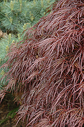 Red Select Cutleaf Japanese Maple (Acer palmatum 'Dissectum Red Select') at Good Earth Garden Market