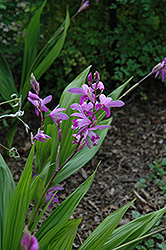 Lavender Japanese Hyacinth Orchid (Bletilla striata) at Good Earth Garden Market