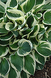 Patriot Hosta (Hosta 'Patriot') at Good Earth Garden Market