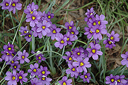 Lucerne Blue-Eyed Grass (Sisyrinchium angustifolium 'Lucerne') at Good Earth Garden Market