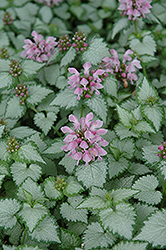 Pink Chablis® Spotted Dead Nettle (Lamium maculatum 'Checkin') at Good Earth Garden Market