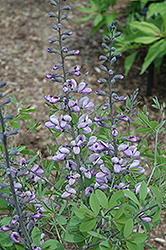 Purple Smoke False Indigo (Baptisia 'Purple Smoke') at Good Earth Garden Market