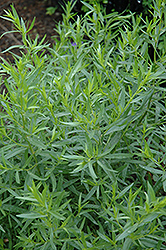 French Tarragon (Artemisia dracunculus 'Sativa') at Good Earth Garden Market