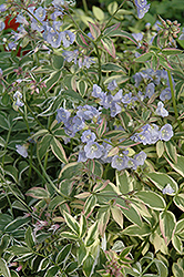 Touch Of Class Jacob's Ladder (Polemonium reptans 'Touch Of Class') at Good Earth Garden Market