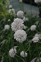 White Sea Thrift (Armeria maritima 'Alba') at Good Earth Garden Market