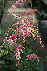 Ostrich Plume Astilbe (Astilbe x arendsii 'Ostrich Plume') at Good Earth Garden Market