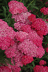 Saucy Seduction Yarrow (Achillea millefolium 'Saucy Seduction') at Good Earth Garden Market