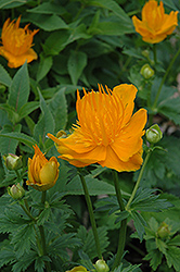 Golden Queen Globeflower (Trollius chinensis 'Golden Queen') at Good Earth Garden Market