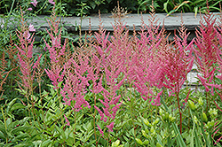 Visions in Pink Chinese Astilbe (Astilbe chinensis 'Visions in Pink') at Good Earth Garden Market