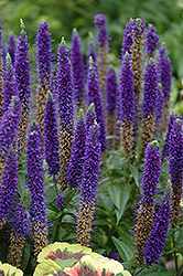 Royal Candles Speedwell (Veronica spicata 'Royal Candles') at Good Earth Garden Market