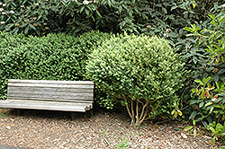 Common Boxwood (Buxus sempervirens) at Good Earth Garden Market
