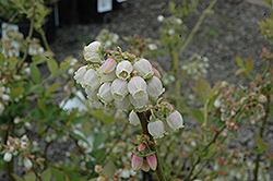 Duke Blueberry (Vaccinium corymbosum 'Duke') at Good Earth Garden Market