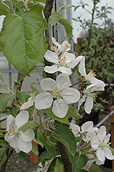 Gala Apple (Malus 'Gala') at Good Earth Garden Market