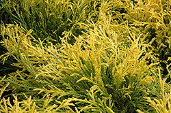 Golden Mop Falsecypress (Chamaecyparis pisifera 'Golden Mop') at Good Earth Garden Market