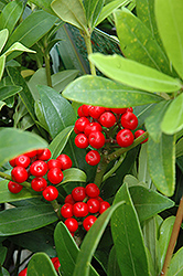Japanese Skimmia (Skimmia japonica) at Good Earth Garden Market