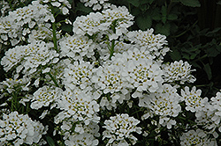 Purity Candytuft (Iberis sempervirens 'Purity') at Good Earth Garden Market